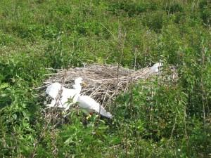 De van klerringen voorziene jonge Lepelaars lopen terug naar hun nest