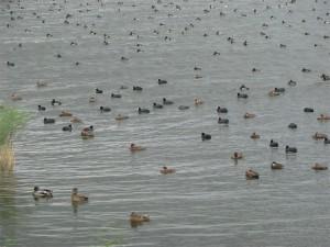 Gemengde groep watervogels.